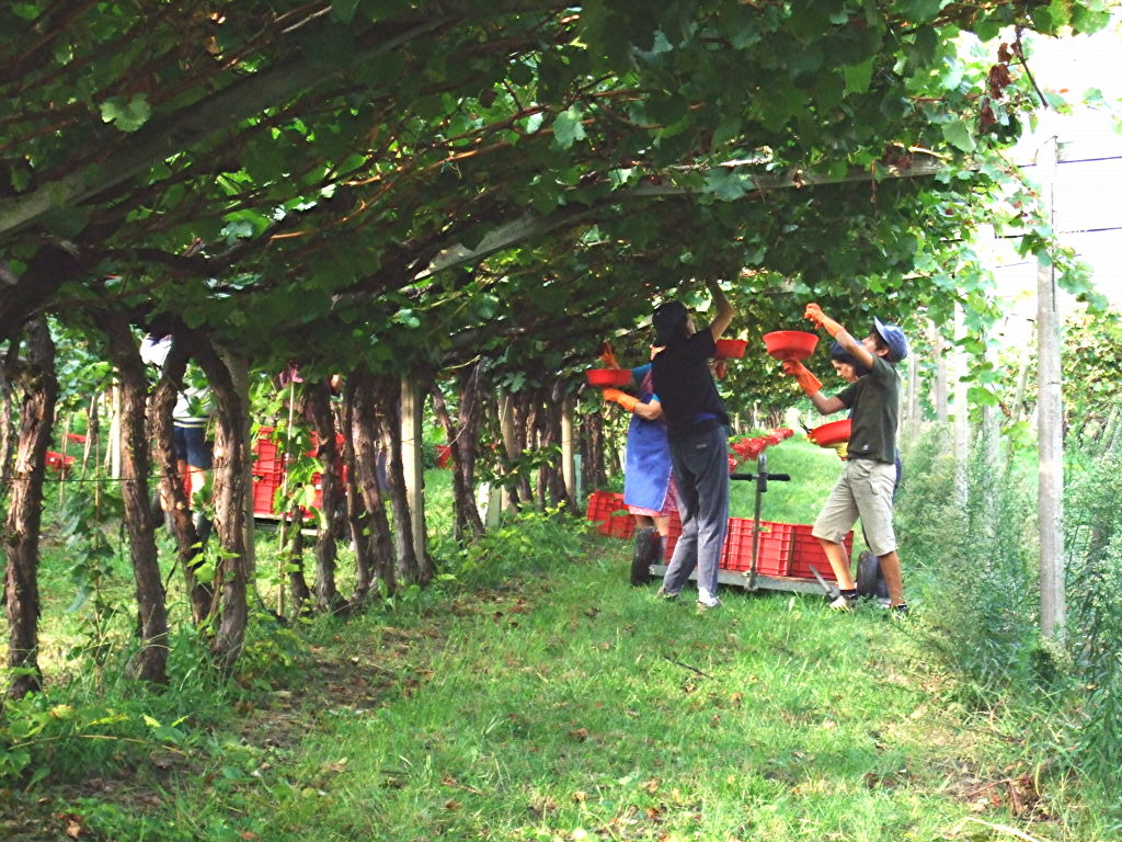 Weinlese im eilverfahren chardonnay ogeaner weinhof Planter vigne raisin de table