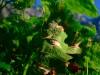 Pilzrasen auf der Blattunterseite